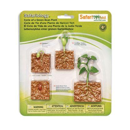 Životni cuklus biljke pasulja Safari 2
