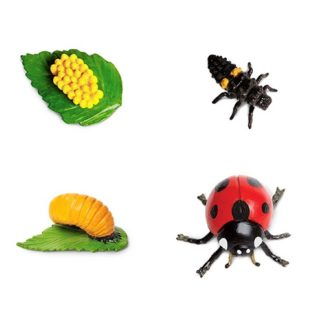 Life Cycle of a Ladybug - 662716