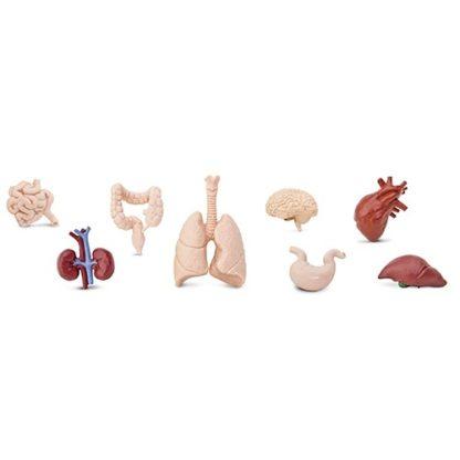 Ljudski organi - Safari