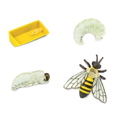 živoni-ciklus-pčele-Safari